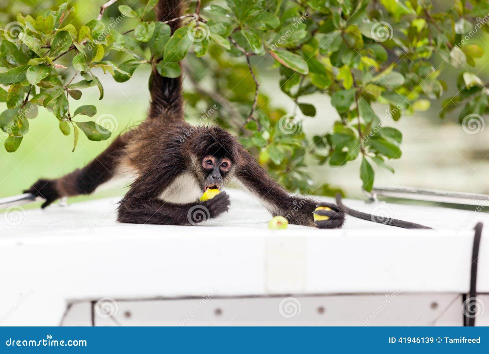 Spider Monkey Eating Guava Stock Photo Image: 41946120