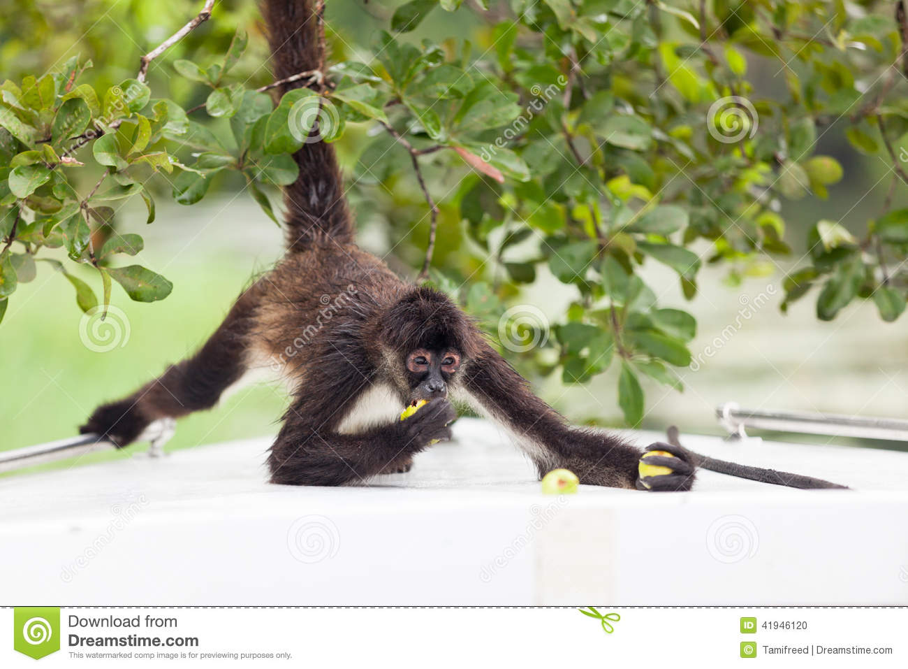 Belize Boat Brown Eating Fruit Guava Monkey Spider Tree Small