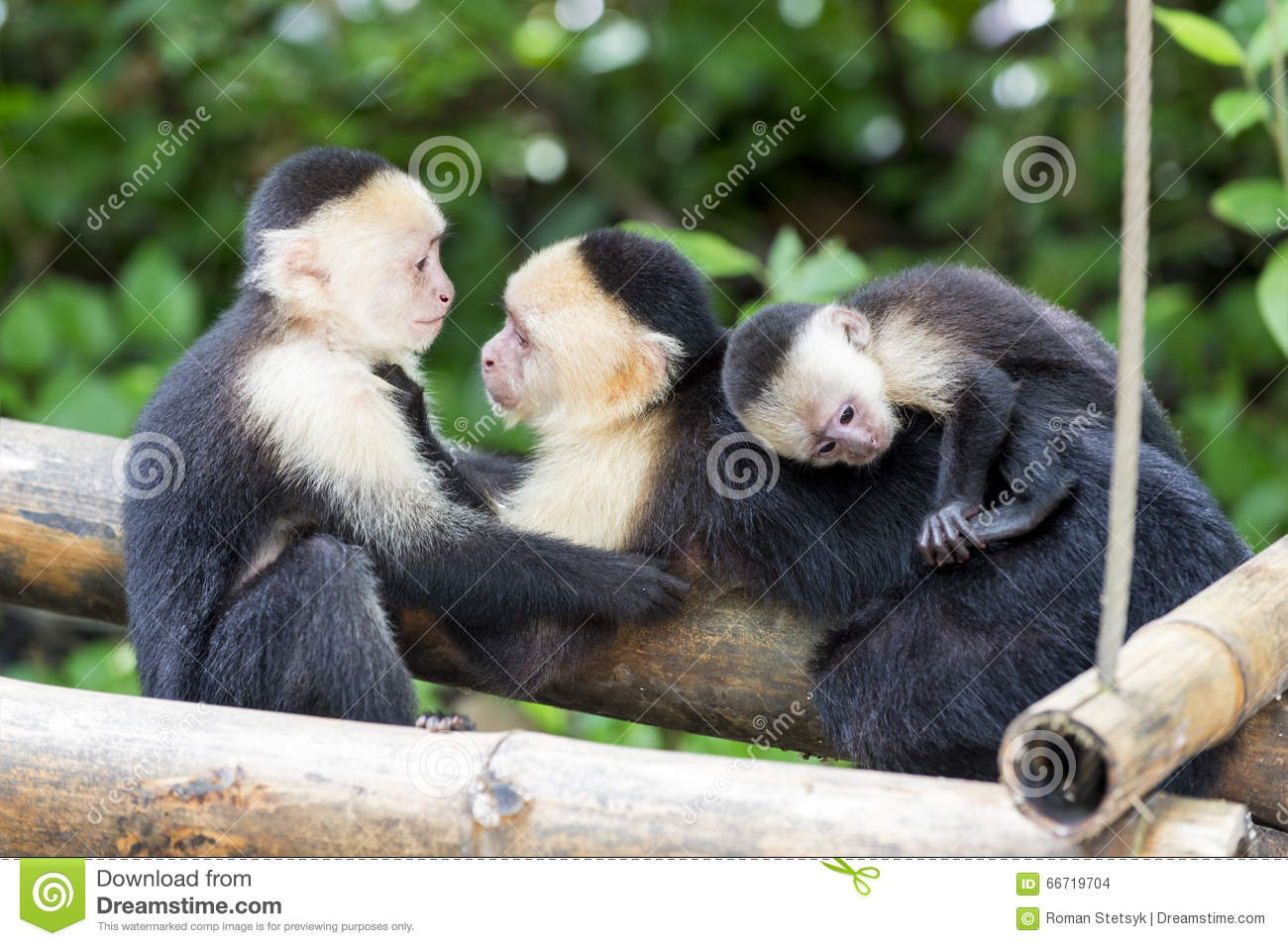 Spider Monkey Family Stock Photo - Image: 66719704