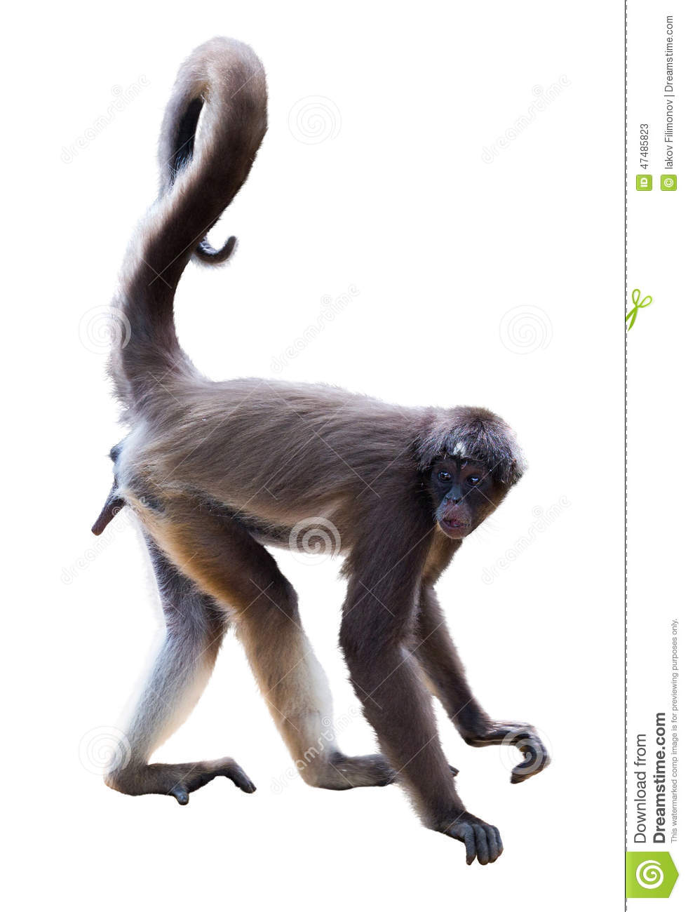 Spider Monkey Over White Background Stock Photo - Image: 47485823
