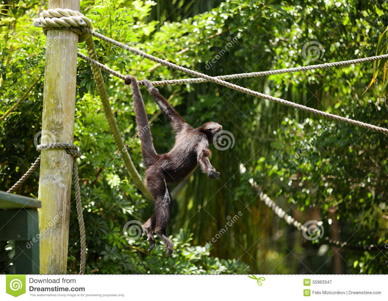 Gallery For > Spider Monkeys Playing