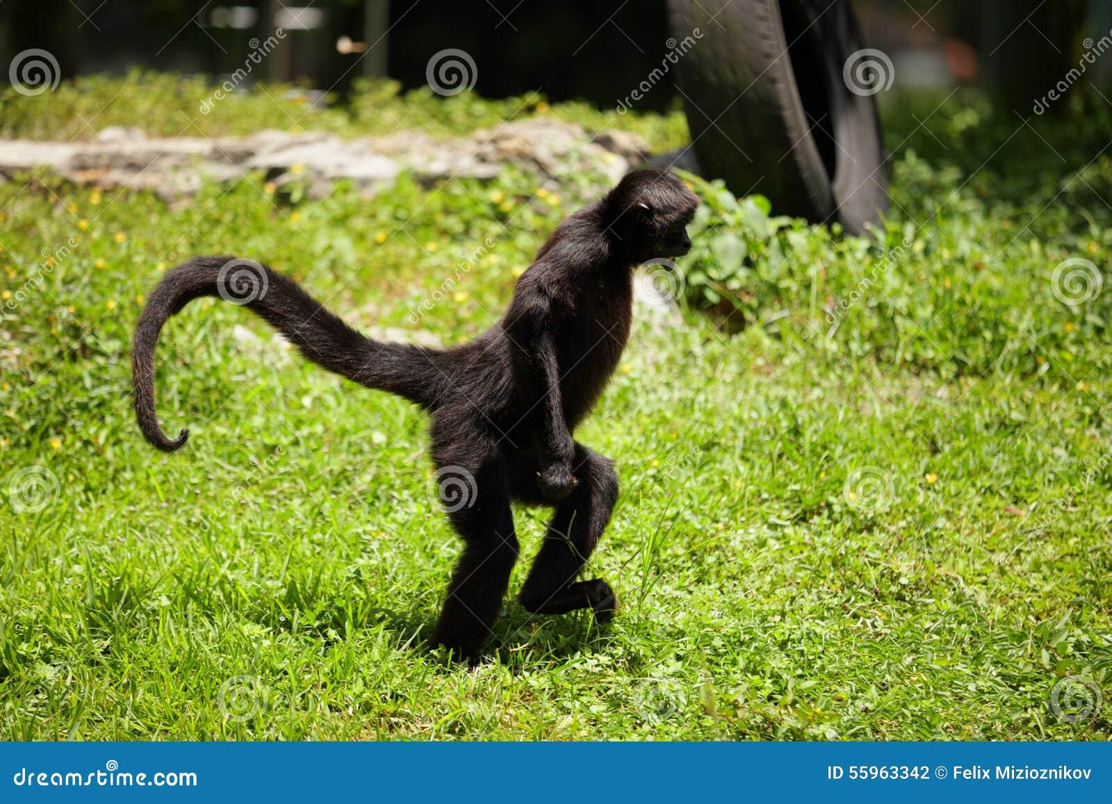 K Kutta Monkey Walk Download Spider Monkey stock ph...