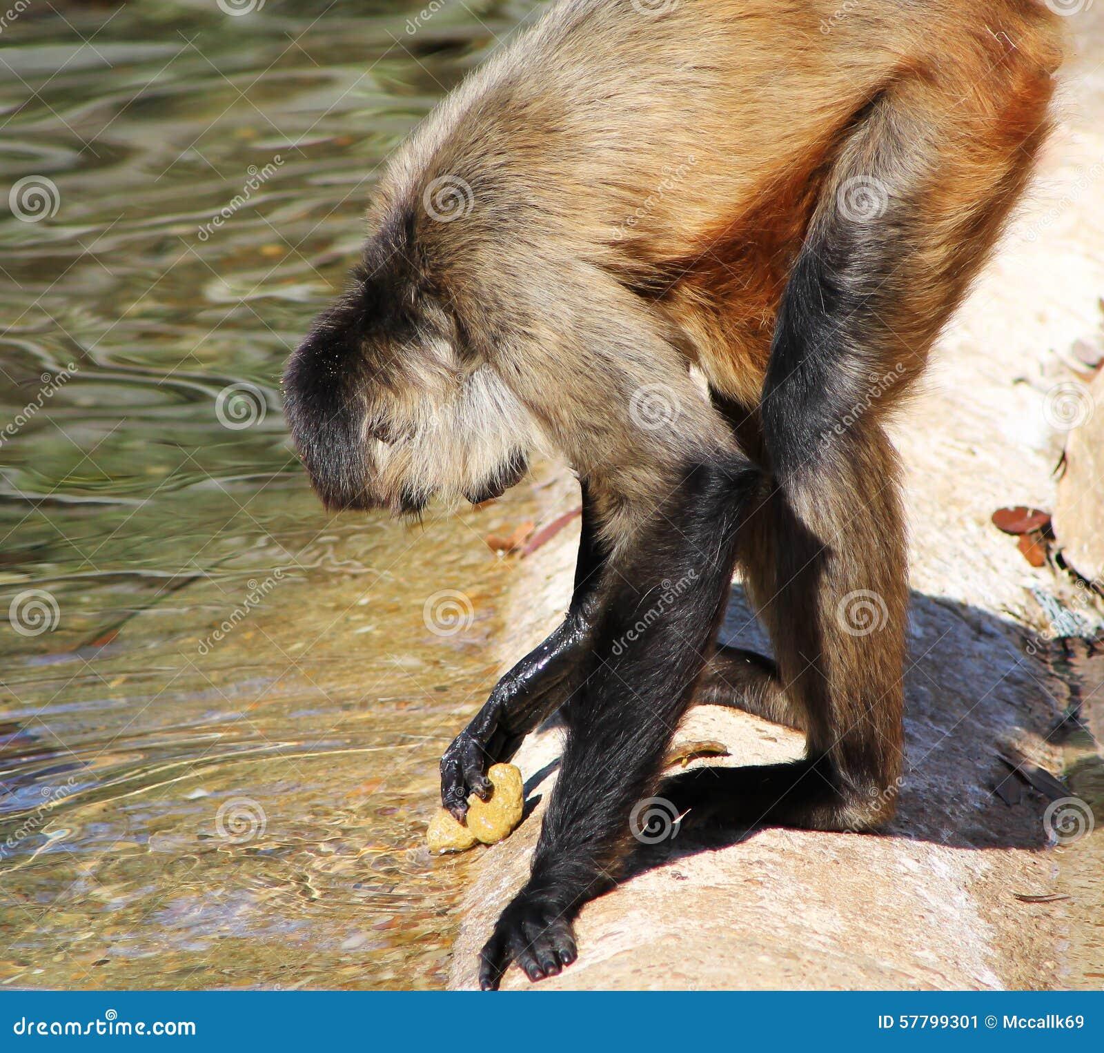 Spider Utensil: Spider Monkey Washing Rock Utensil Stock Photo