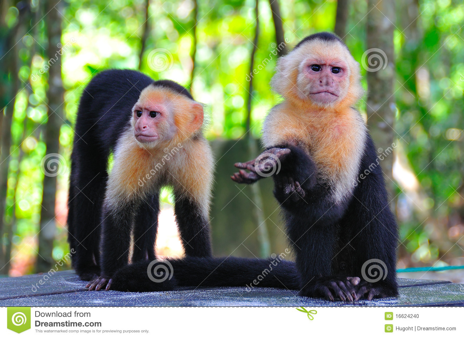 Spider Monkeys, Costa Rica Stock Photo - Image: 16624240