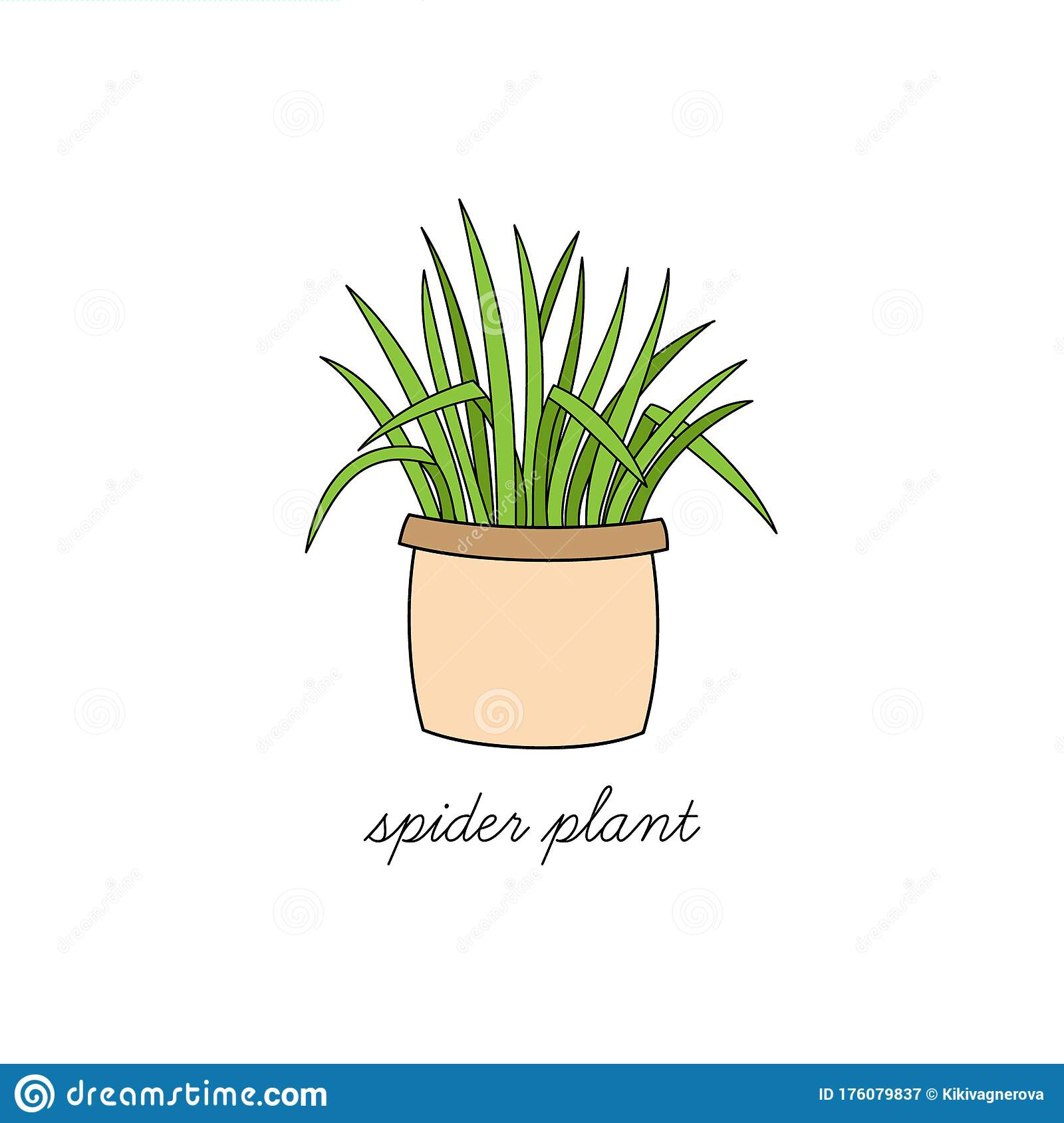 Spider Plant Vector Illustration Drawing Stock Vector Illustration Of Botany Isolated 176079837