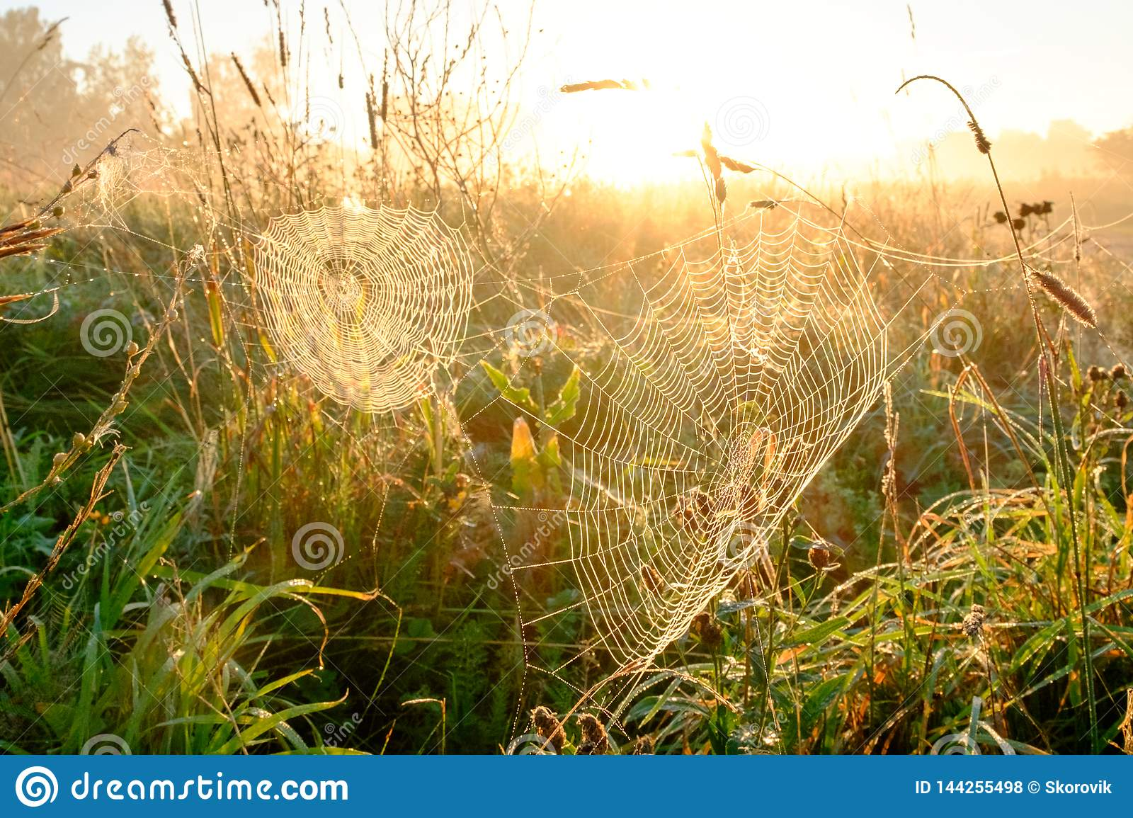 Spider`s web closeup with drops of dew at dawn. Wet grass before sun raise. Spider web with droplets of water. Natural