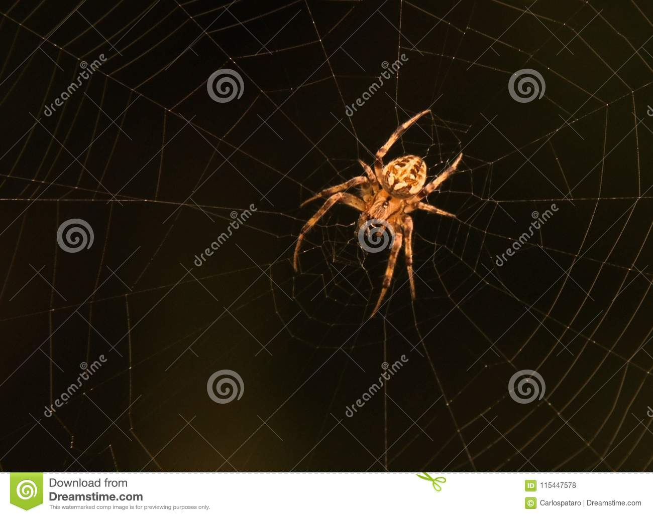 Download Spider on it`s web stock photo. Image of outdoors, creature - 115447578