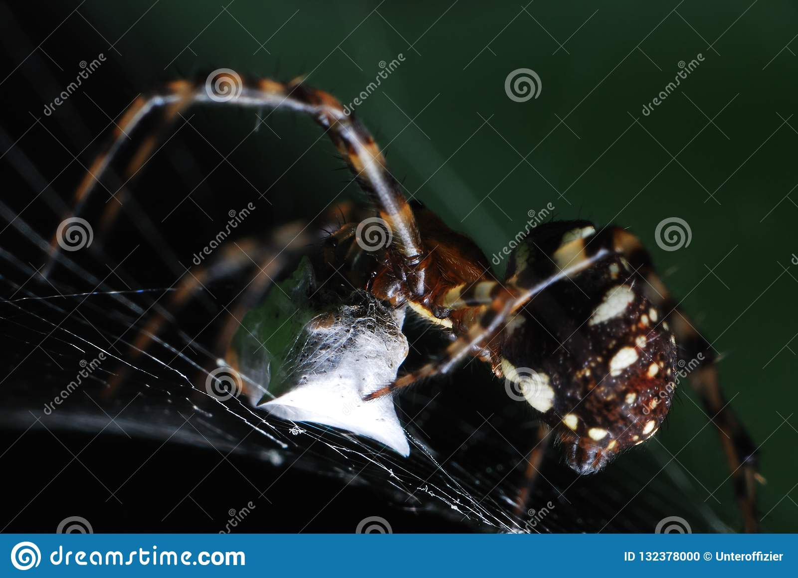 A spider weaving a cocoon over some captured prey