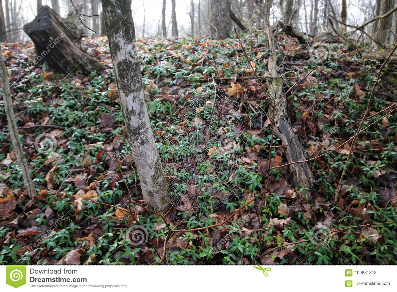 Spider web in forest stock photo  Image of rural, spider - 109681818