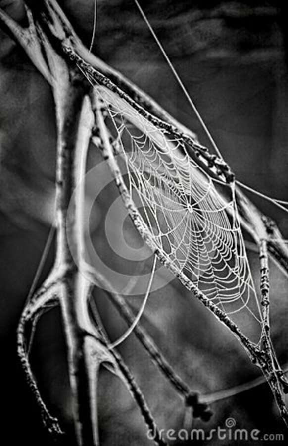 Download Spider Web Grayscale Photo stock photo. Image of photo - 83024884