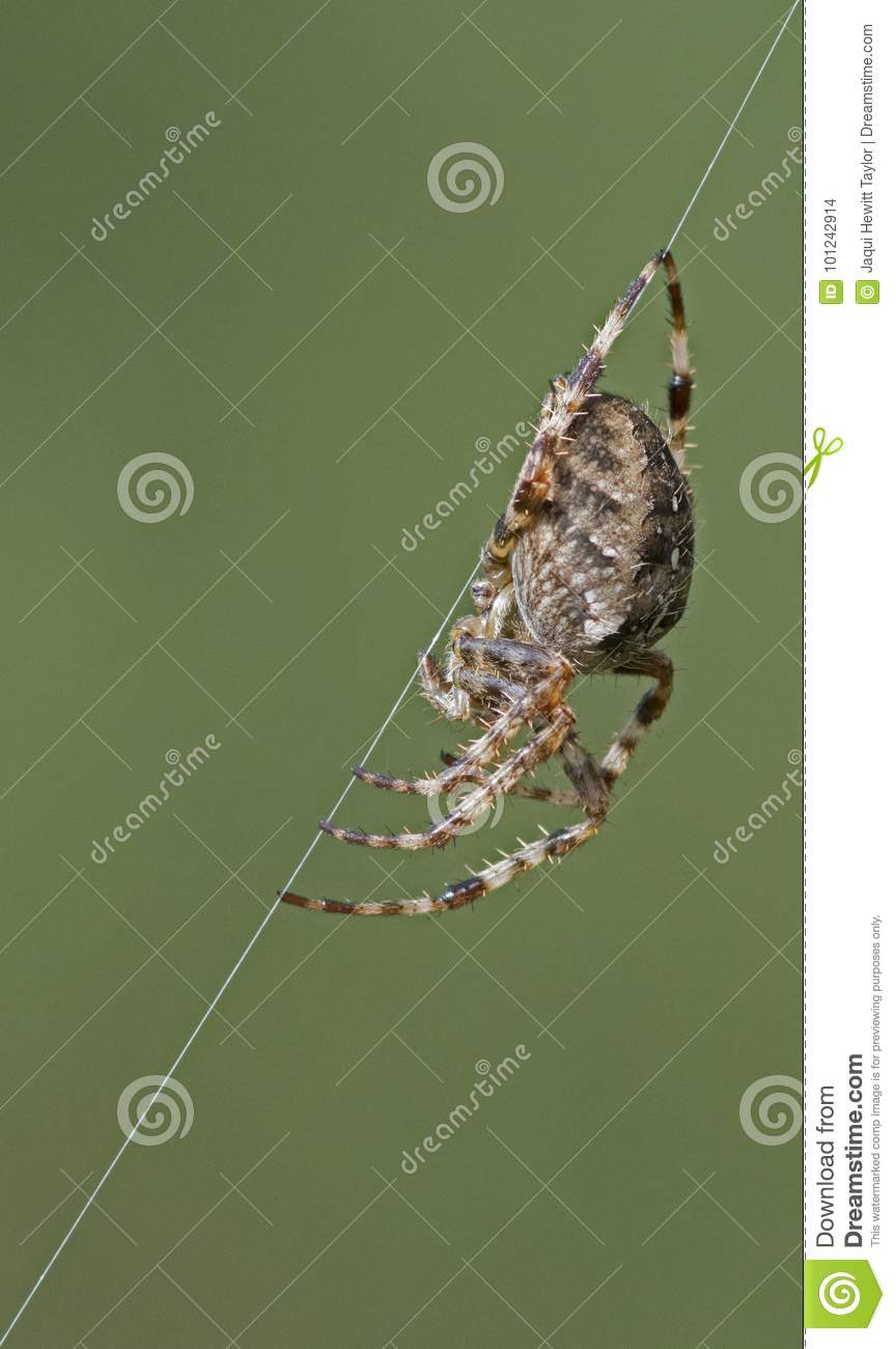 A spider on a web strand