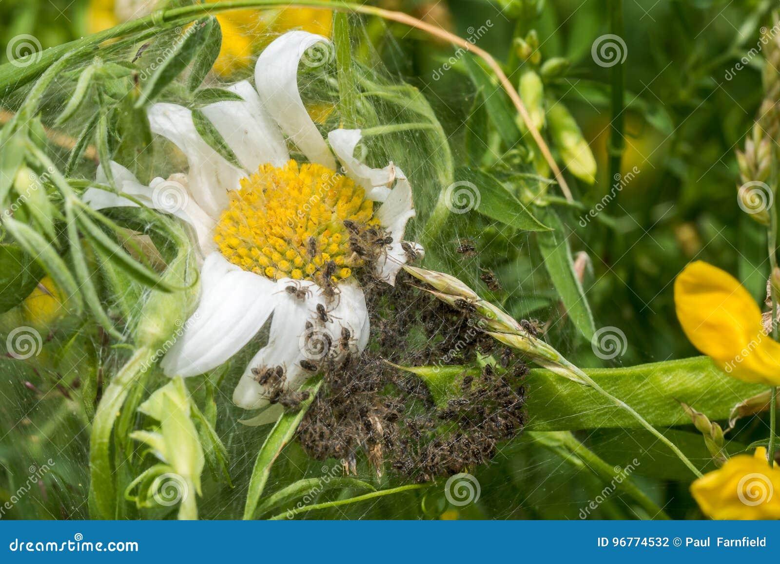 Spiderling creche or nursery