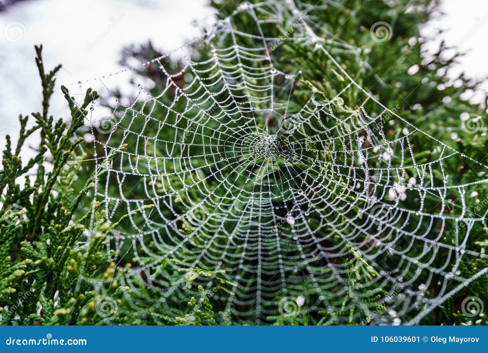 Spiderweb bonito coberto em gotas cintilando do orvalho na árvore verde no fundo