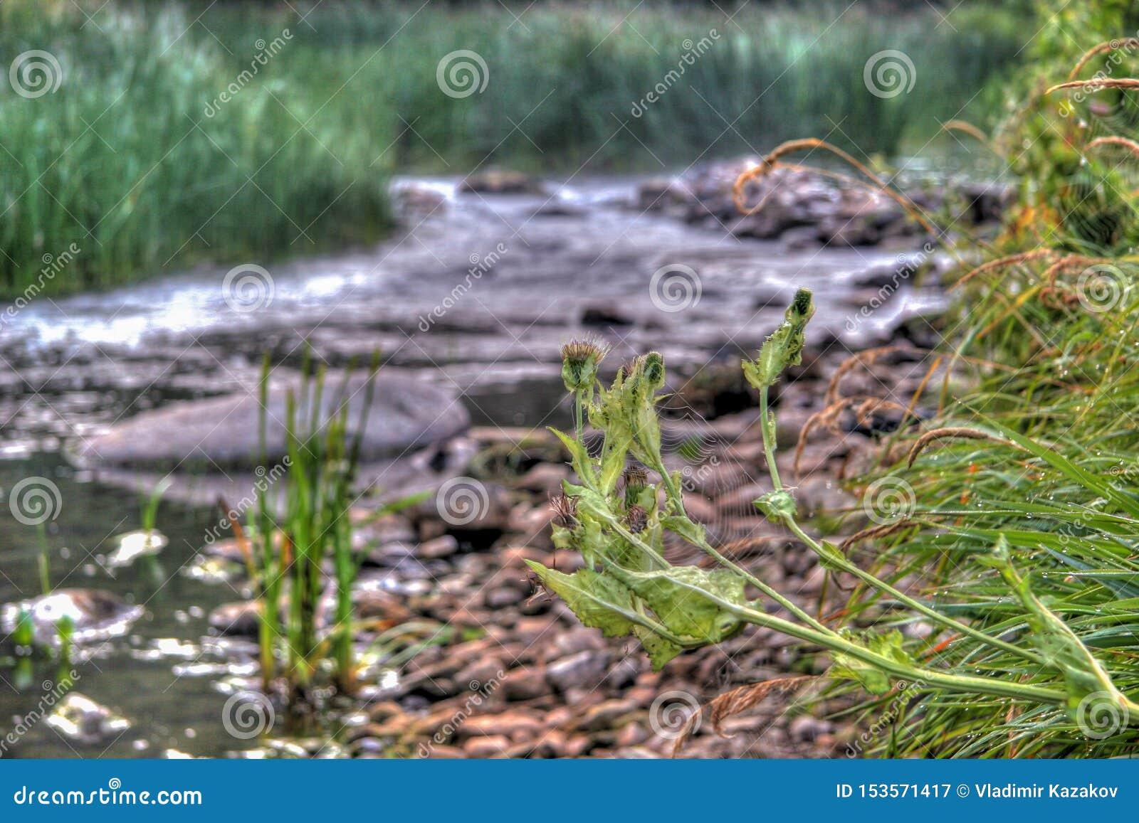 Spiderweb en la espina contra la perspectiva de un pequeño río con las piedras a lo largo de los bancos y de la hierba alrededor