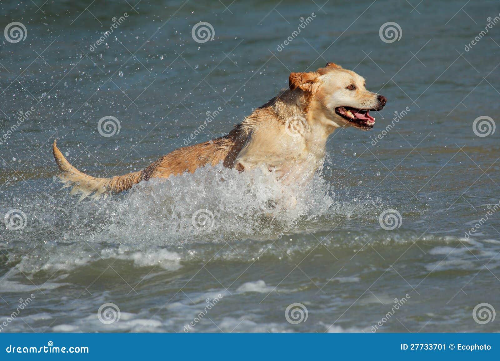 Spielen des goldenen Apportierhunds