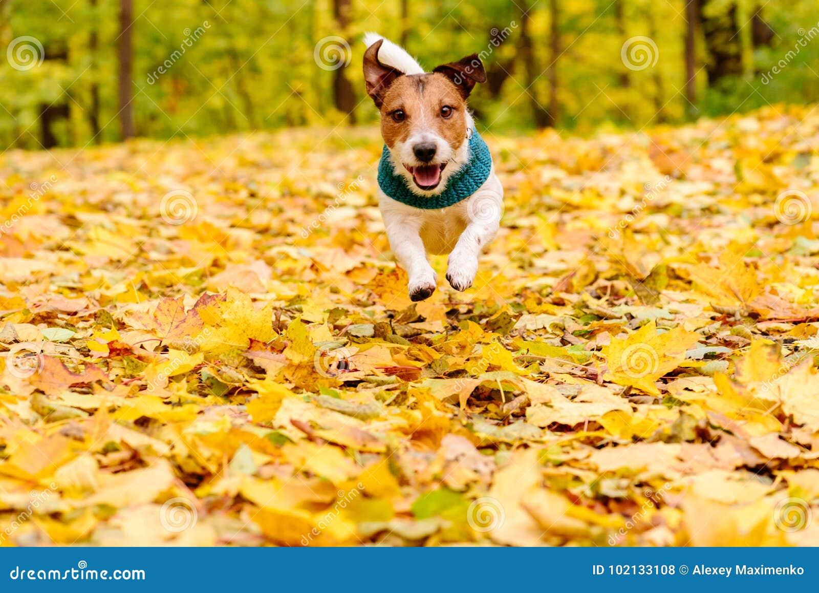 Spielerischer glücklicher Hund, der den warmen Schalldämpfer läuft am Herbstrasen trägt