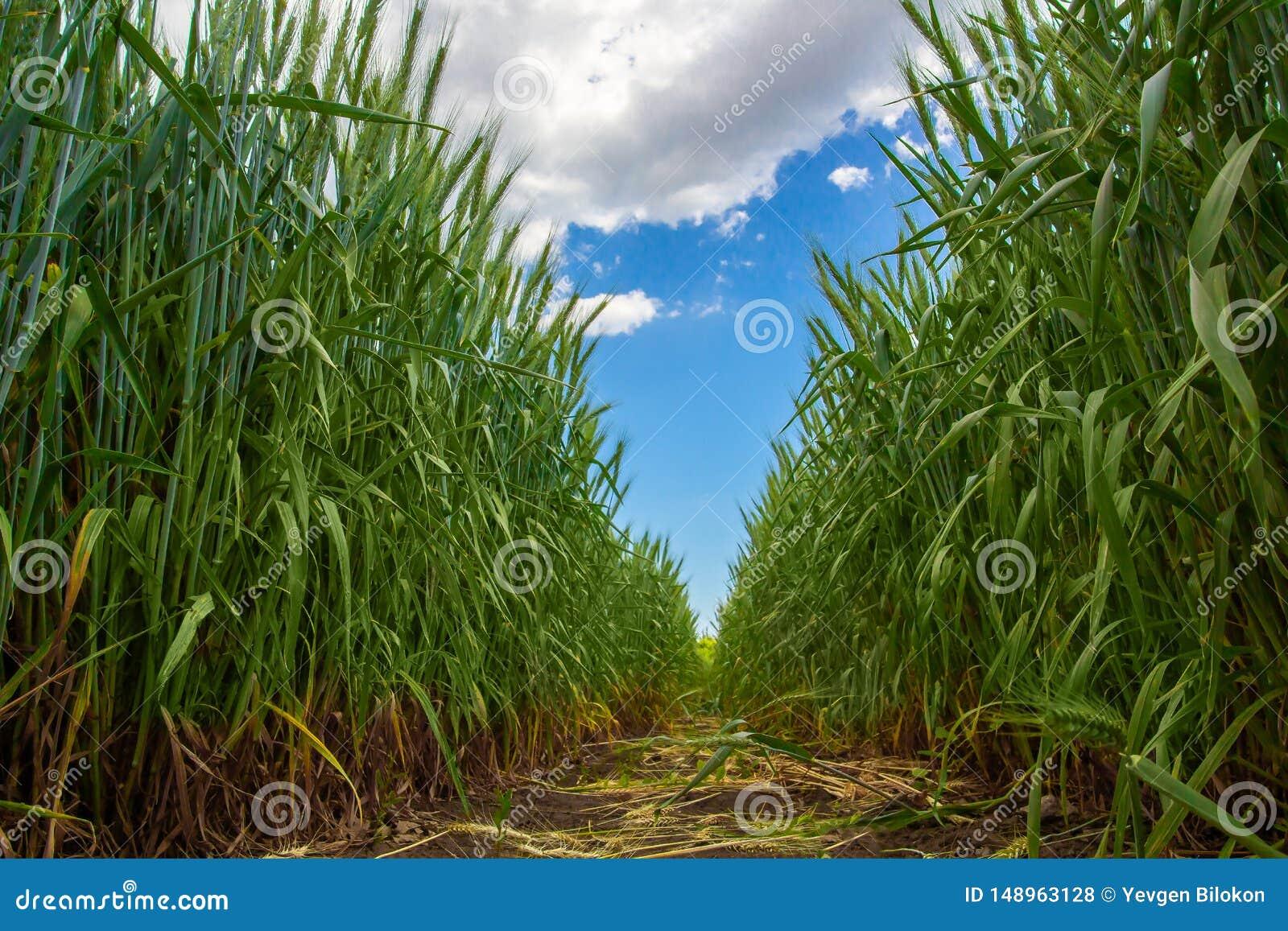 Spighette verdi di grano contro il cielo blu e le nuvole grige