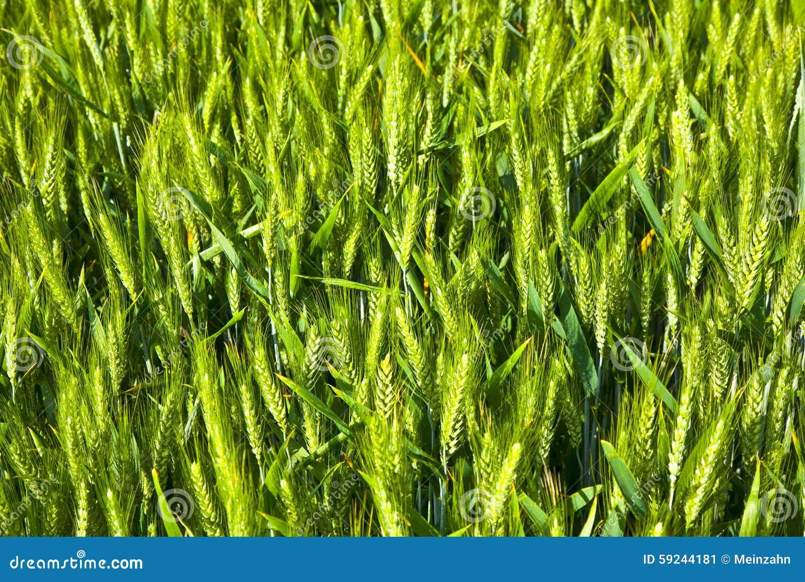 Download Spika del maíz imagen de archivo. Imagen de cultivación - 59244181