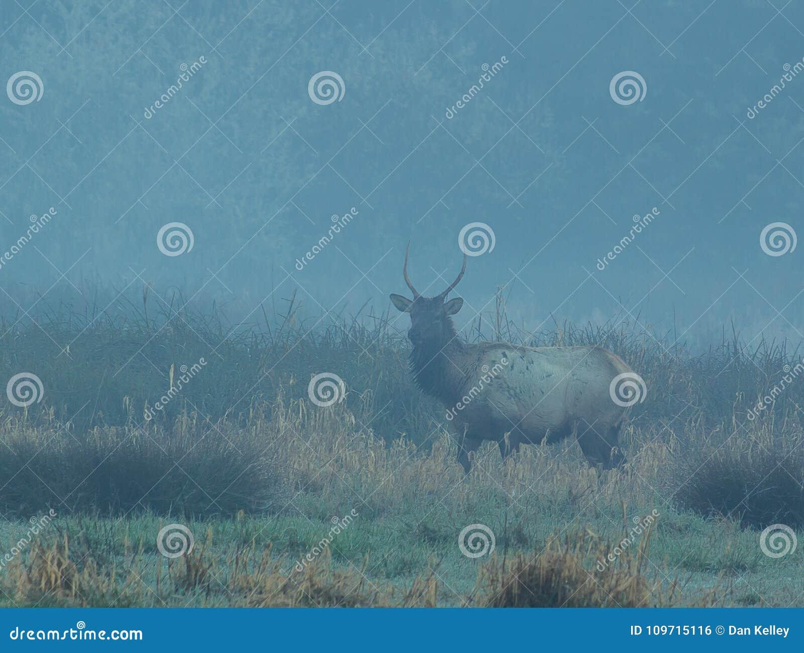 Spike Elk em Trinidad California em uma manhã nevoenta