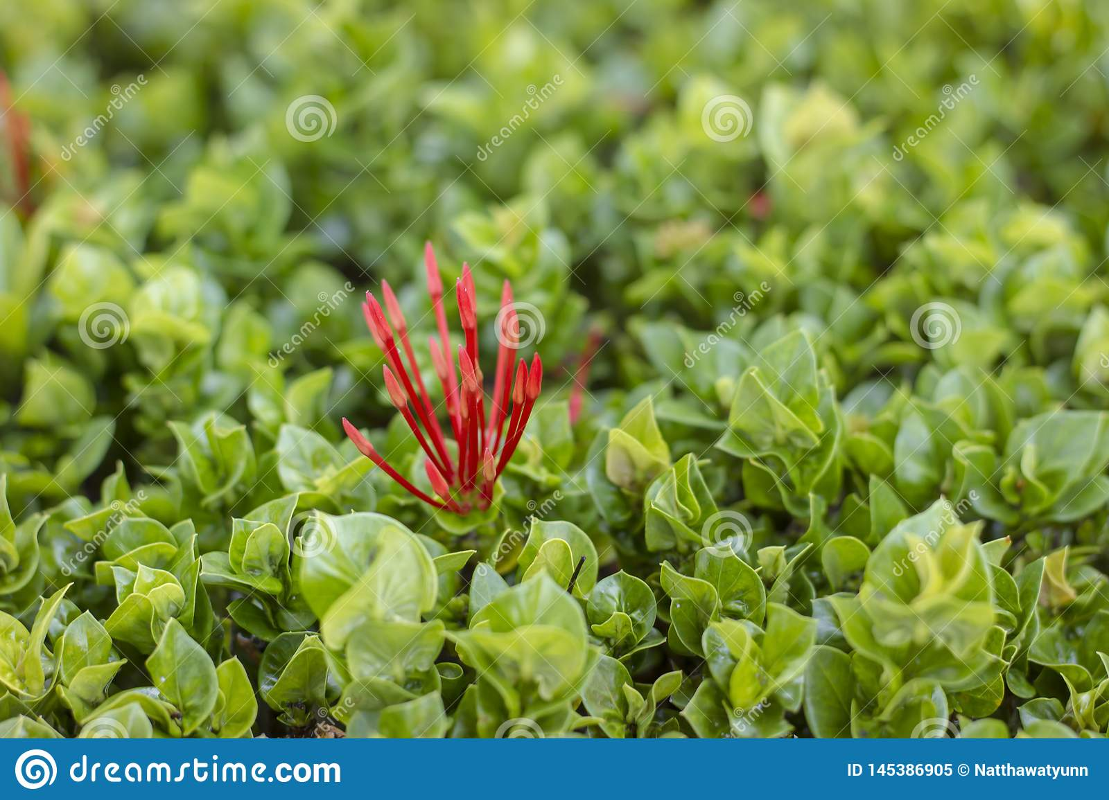 Spike flower petals are a bunch of red and green leaves decorated with houses and gardens in Thailand