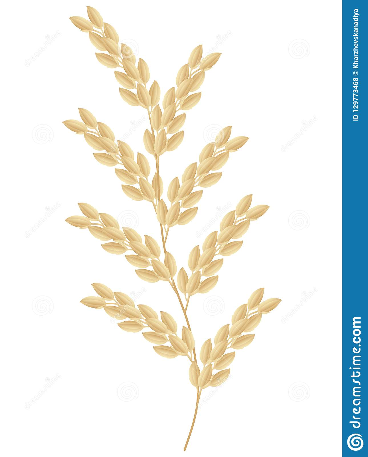 Spikelet of rice plant isolated on white background.