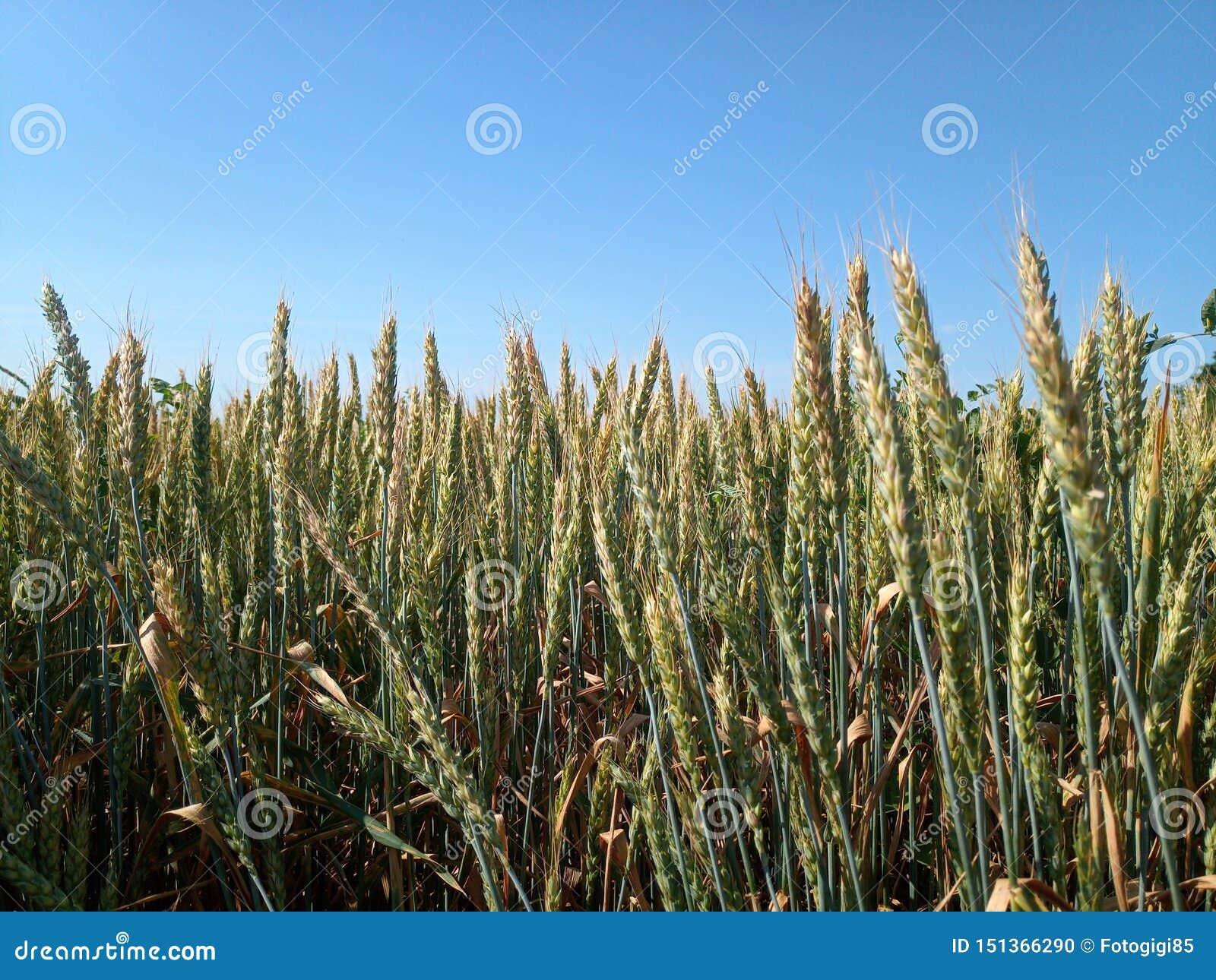 Spikelets av grönt vete i ett fält mot blå himmel