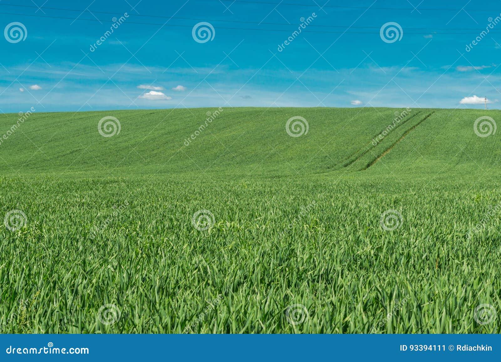 Spikelets av grönt vete mot den blåa himlen