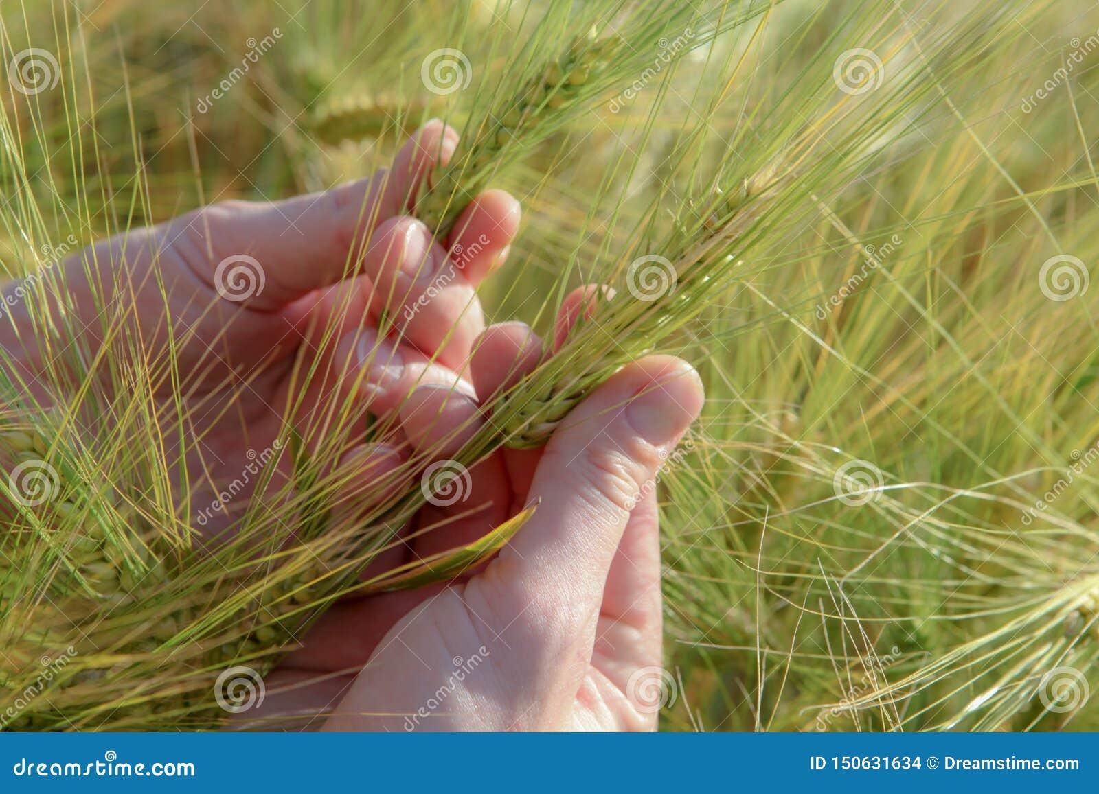 Spikelets av vete i hand, på ett klart fält