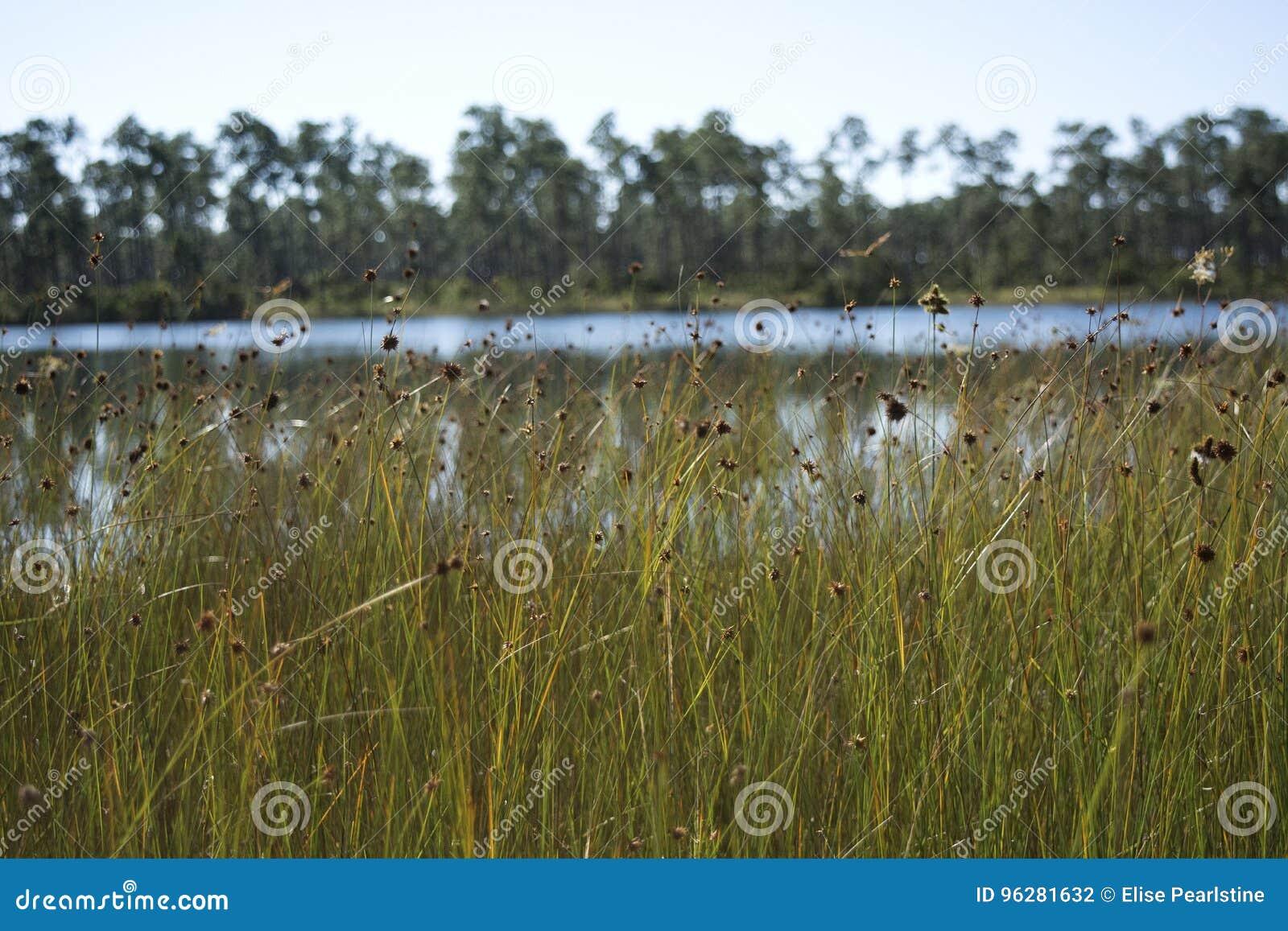 Spikerush łąka w błota parka narodowego bagna z sosen dragonflies i kwiatami