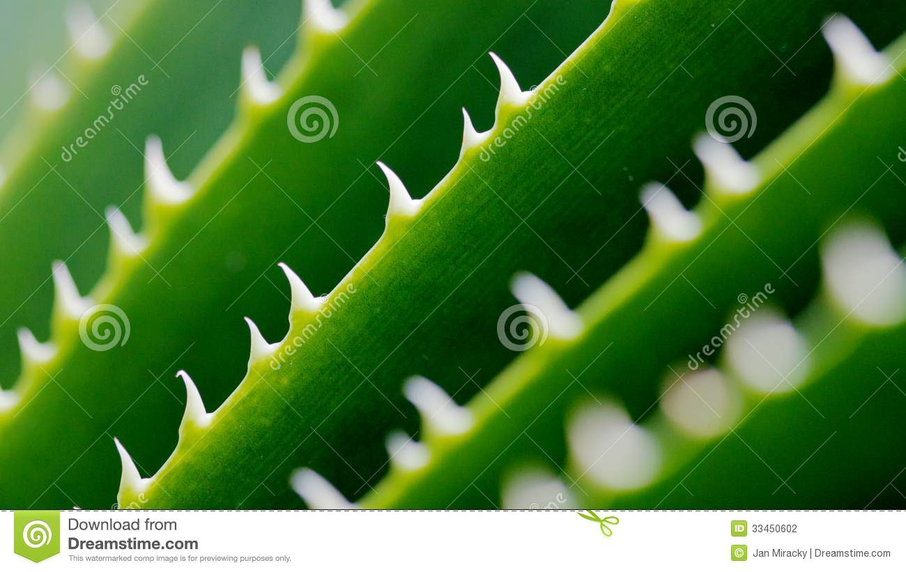 Download Spikes On Green Cactus Leaf Stock Photo - Image of macro, indoor: 33450602
