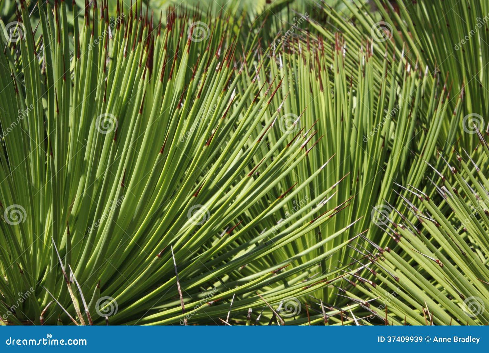 Broom Bush Plant