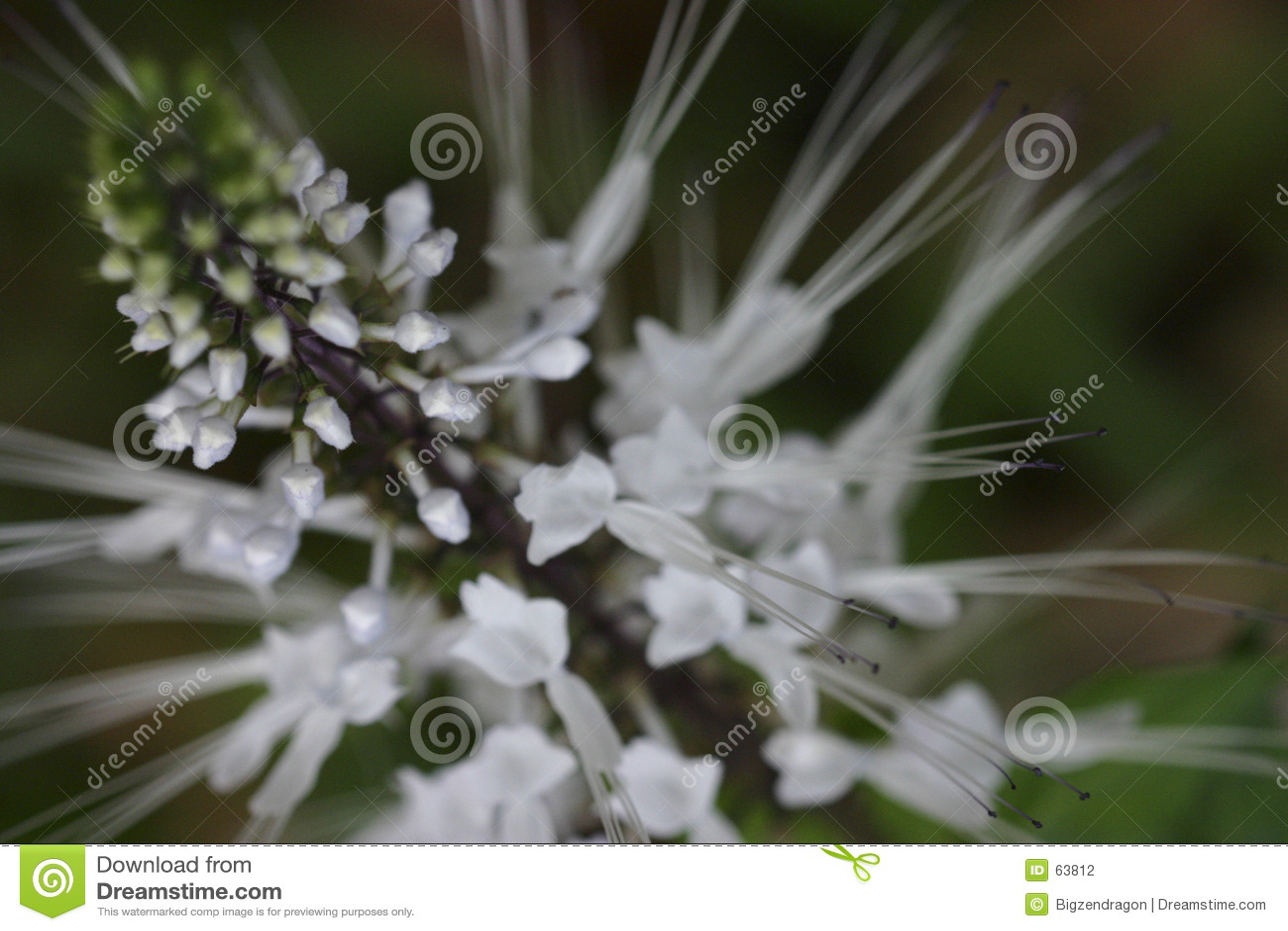 Spiky white för blomma