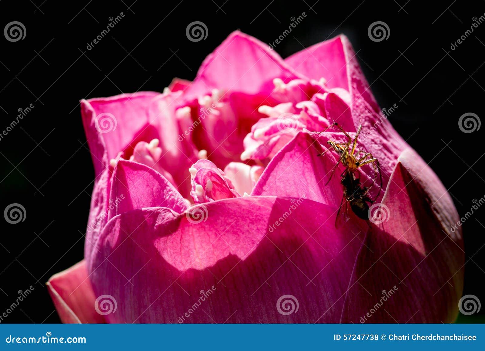 Spin die bij op lotusbloembloemblaadje vangen