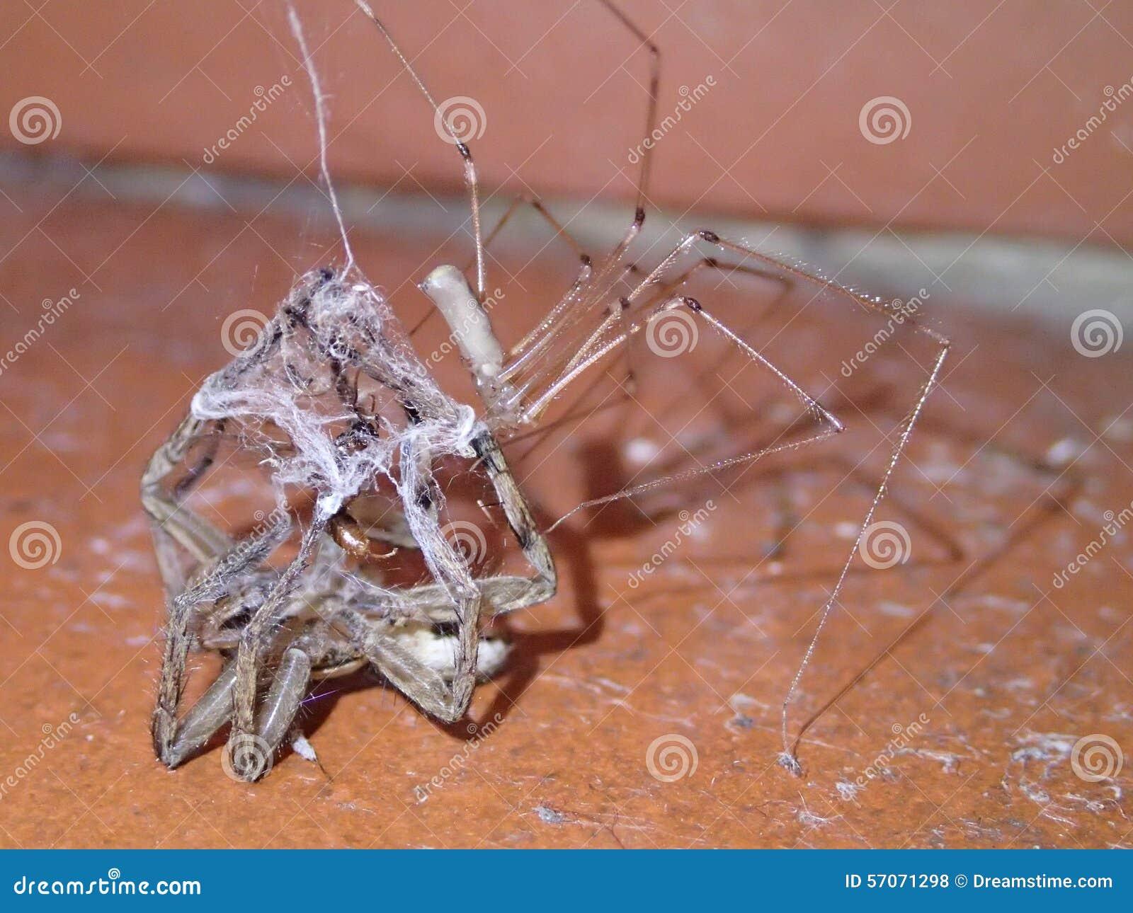 Spin die en een andere spin doden eten
