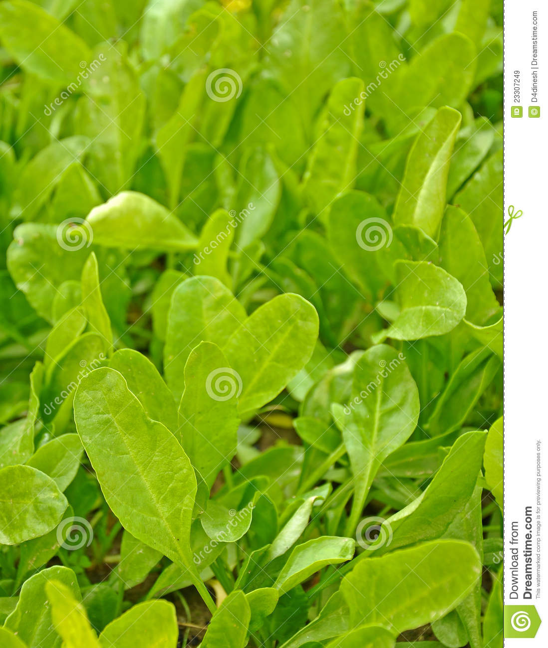 The spinach leaf essay