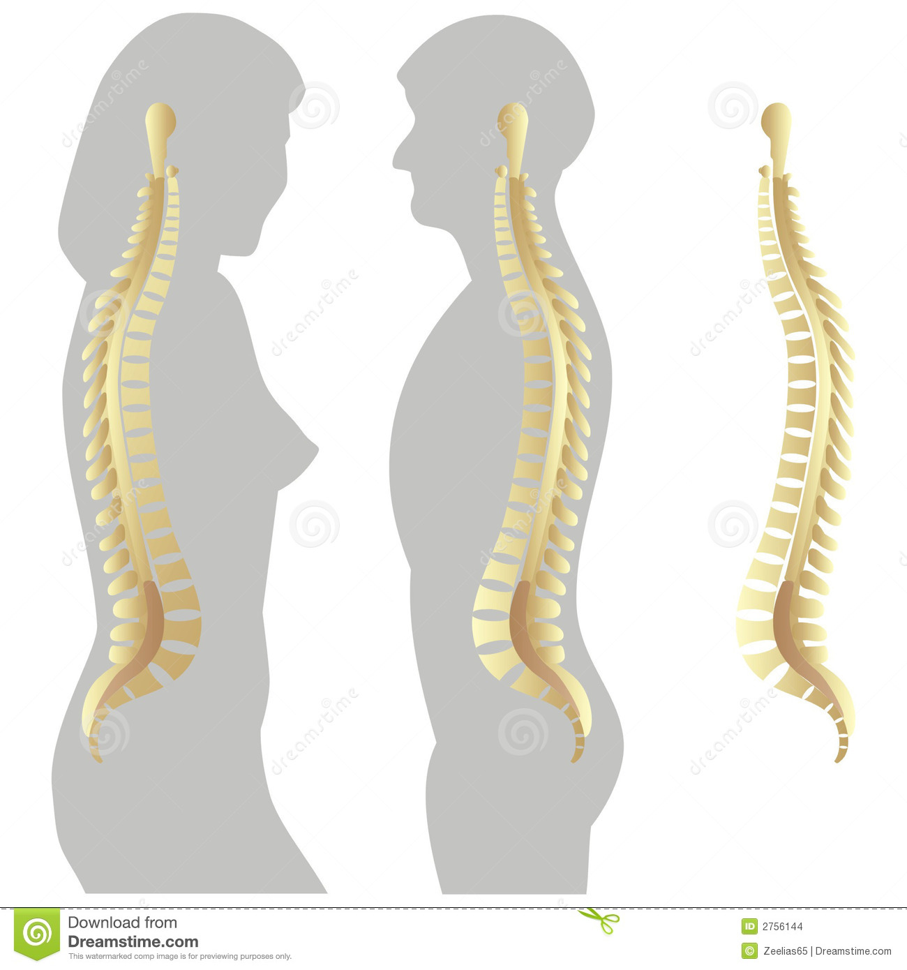 Spinal Column Stock Vector Illustration Of Clipart Illustration