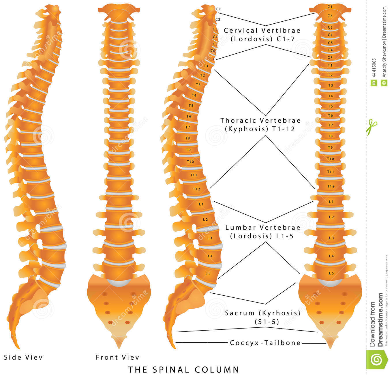 The Spinal Column