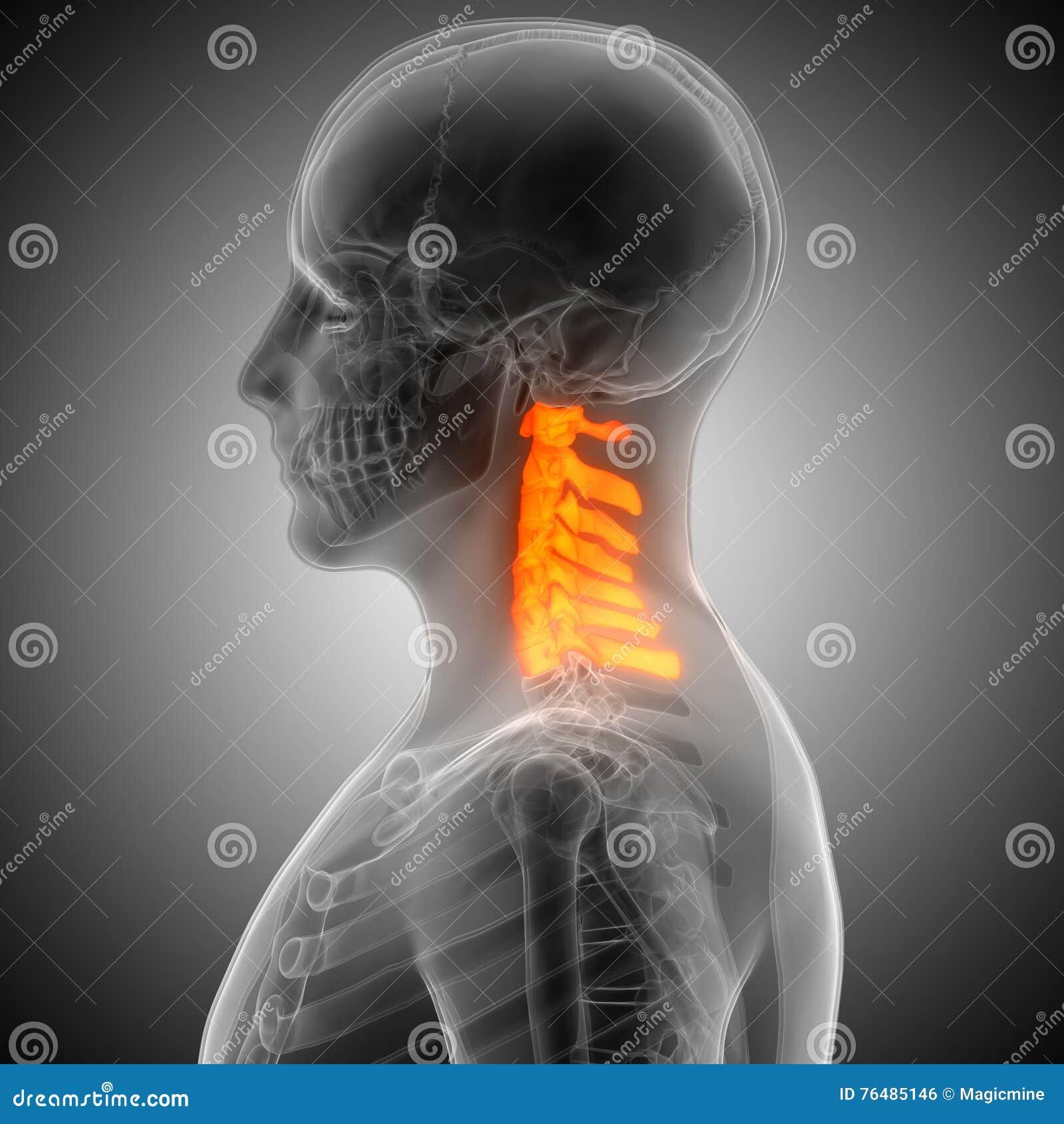 Spinal Cord Anatomy Cervical Vertebrae Stock Illustration