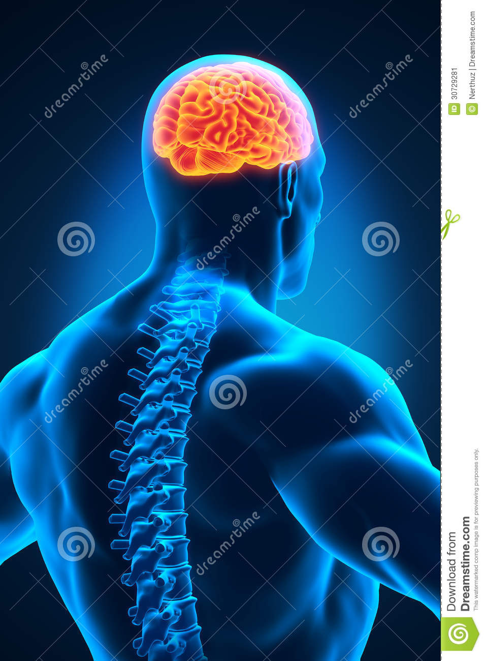 Spinal Cord And Brain Anatomy Stock Illustration - Illustration of ...