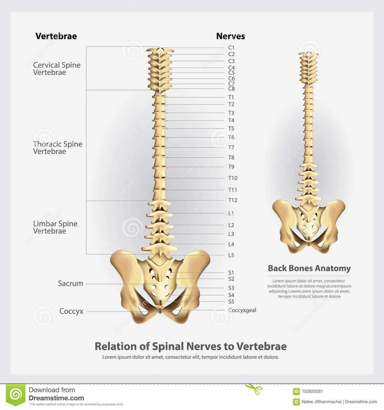 Spinal Nerves And Vertebrae Segments And Roots Stock Vector