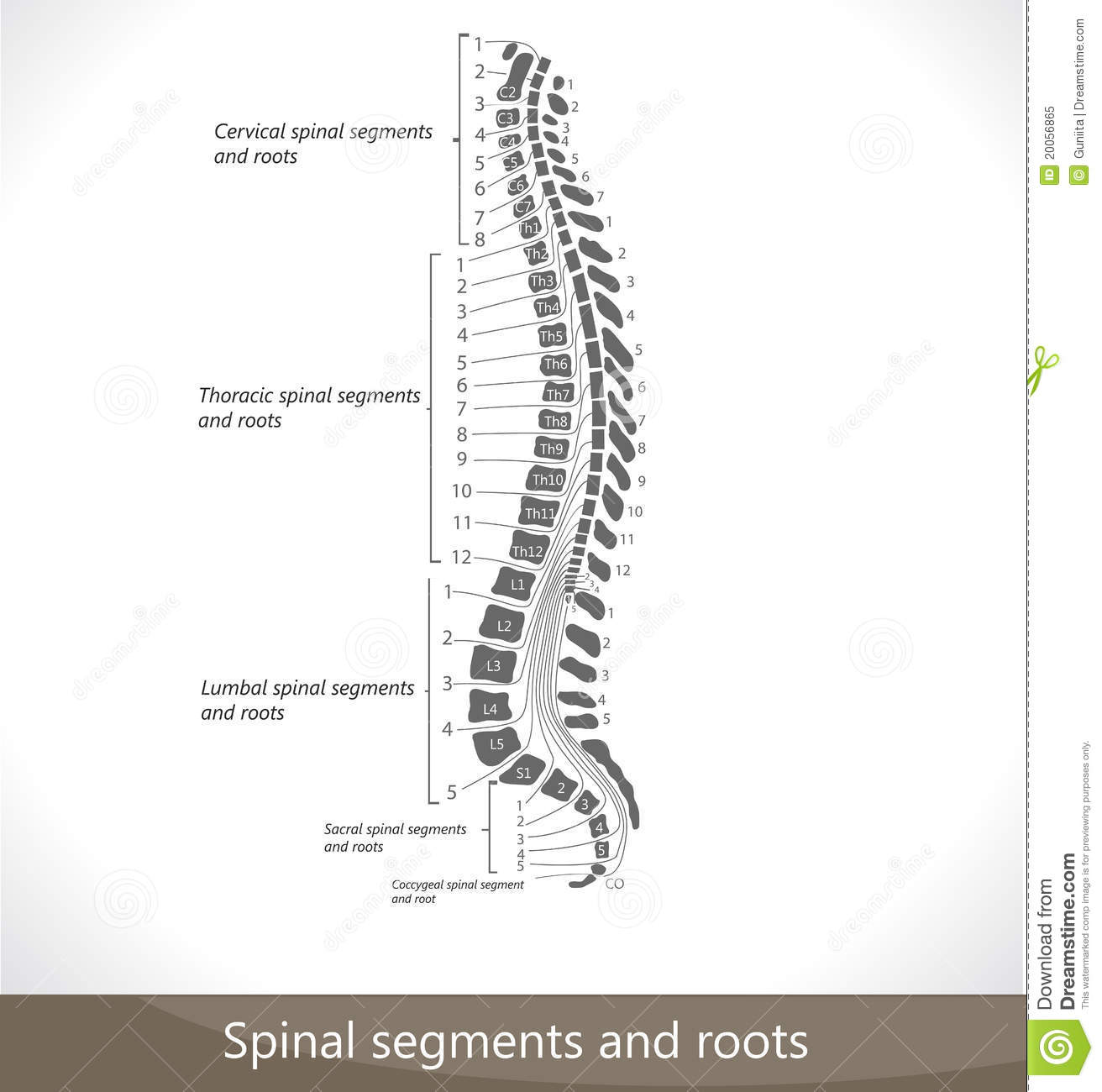 Spinal Segments And Roots Royalty Free Stock Photo Image