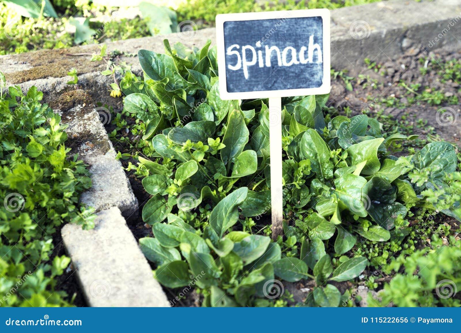 Mest Voor Tuin : Spinazie in een tuin met uithangbord stock foto afbeelding