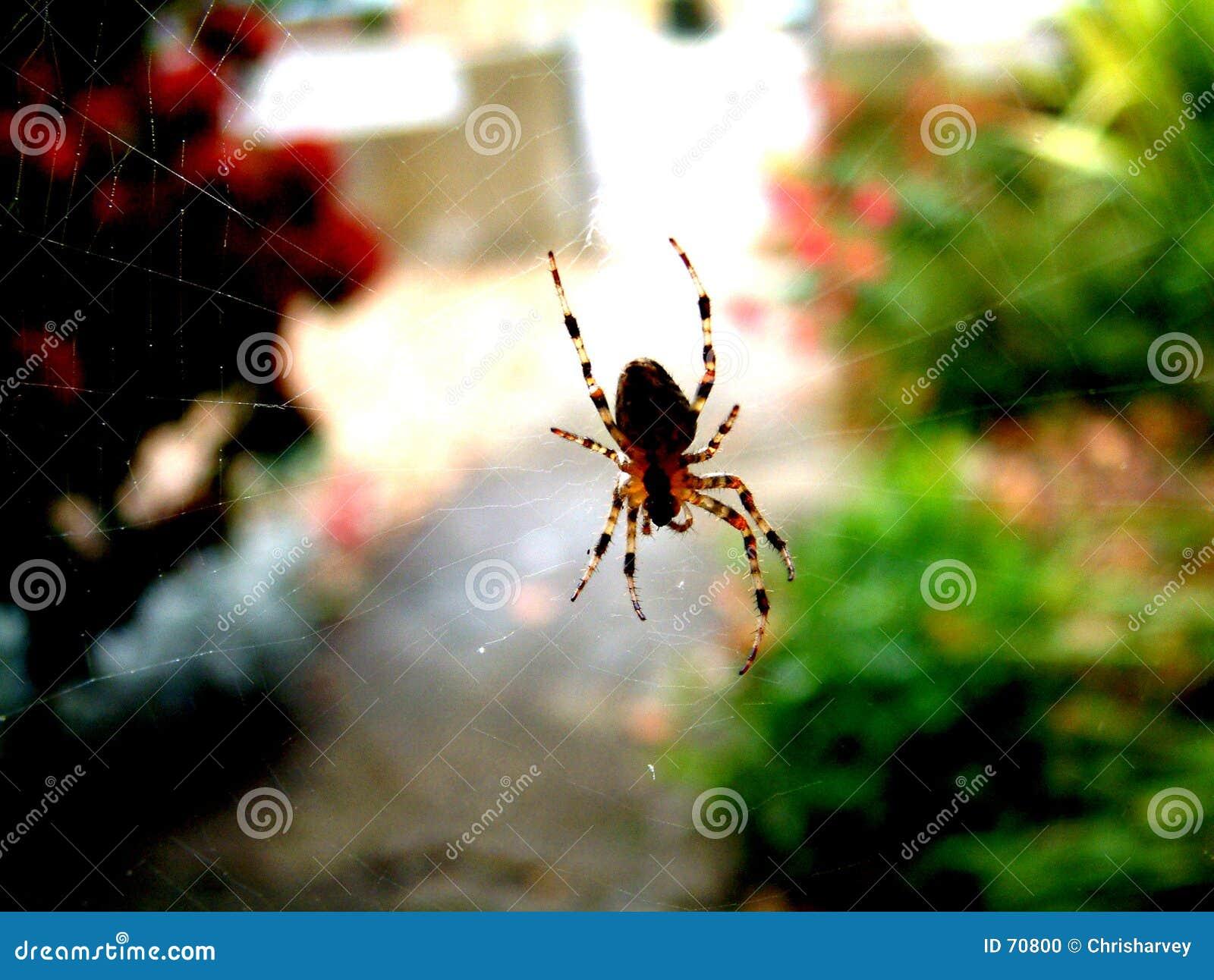 Spindel på rengöringsduk 1