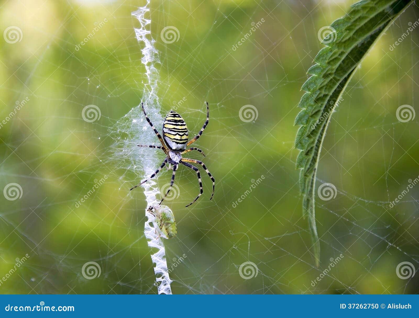 Spindeljakt (Argiopebruennichien)