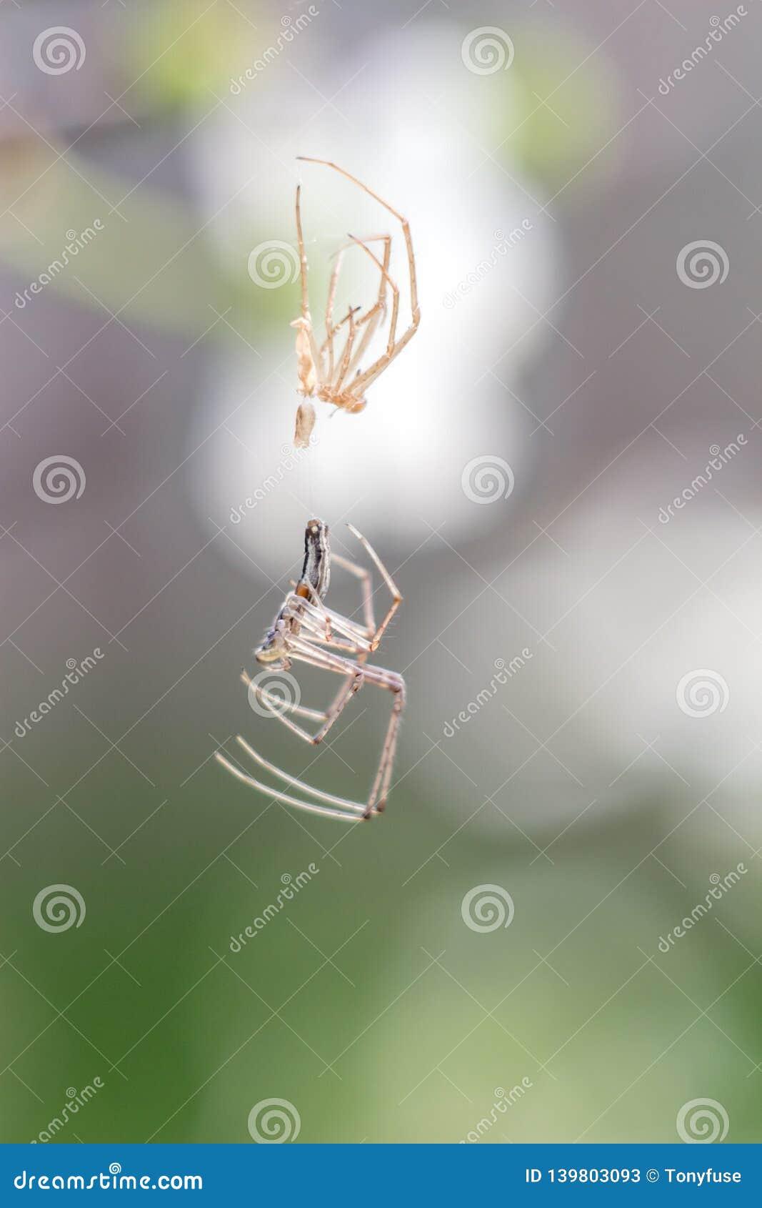Spindelnärbildskjul som flås på rengöringsduken som en främling
