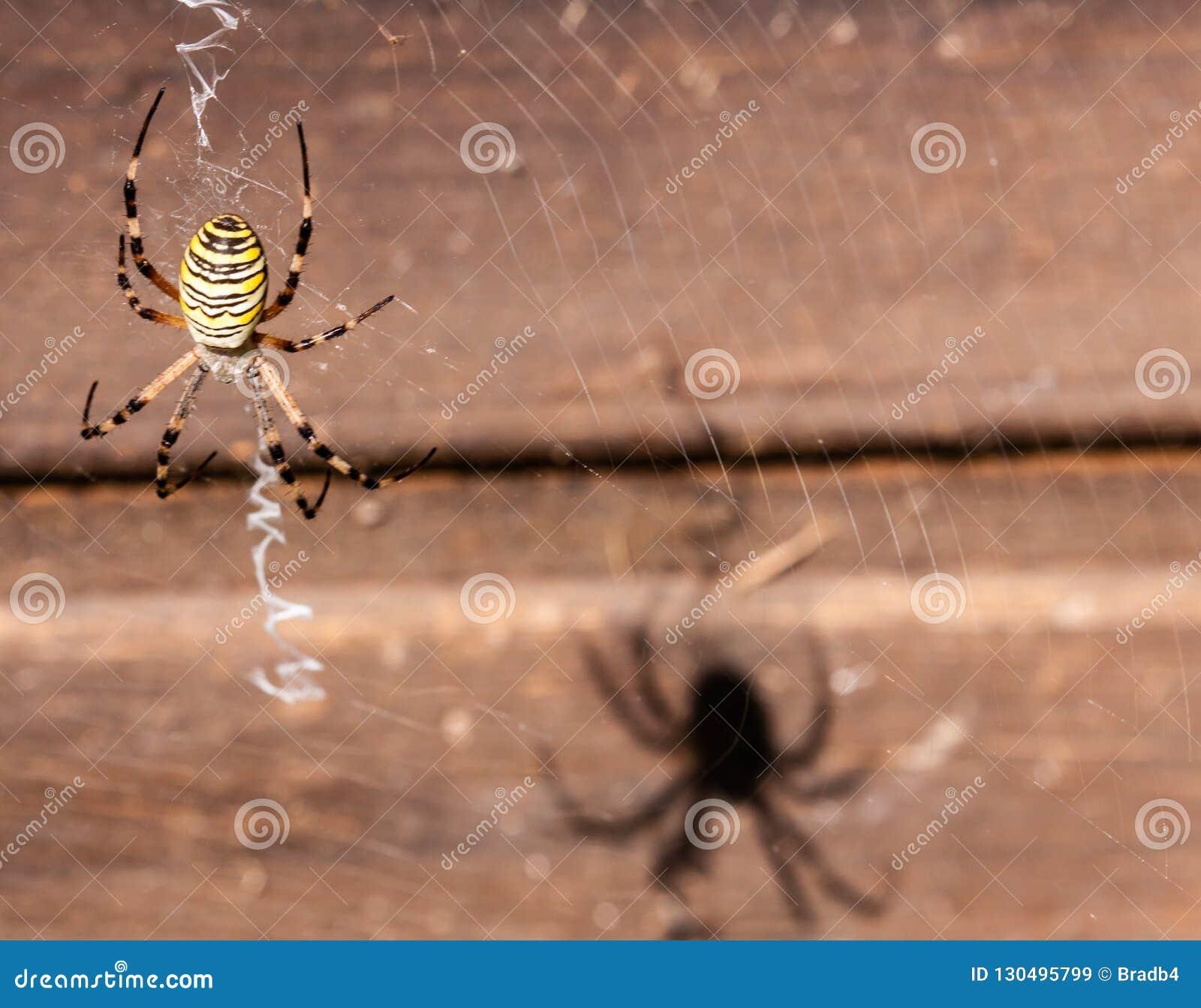 Spindels skugga på trät