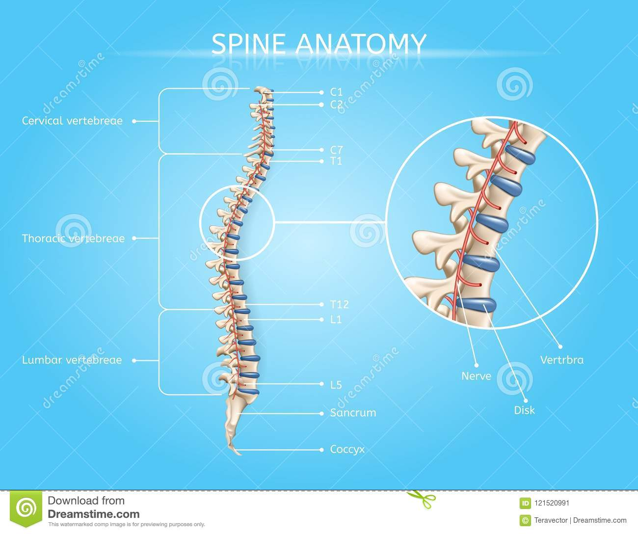 Human Spine Anatomy Vector Medical Infographic Stock Vector