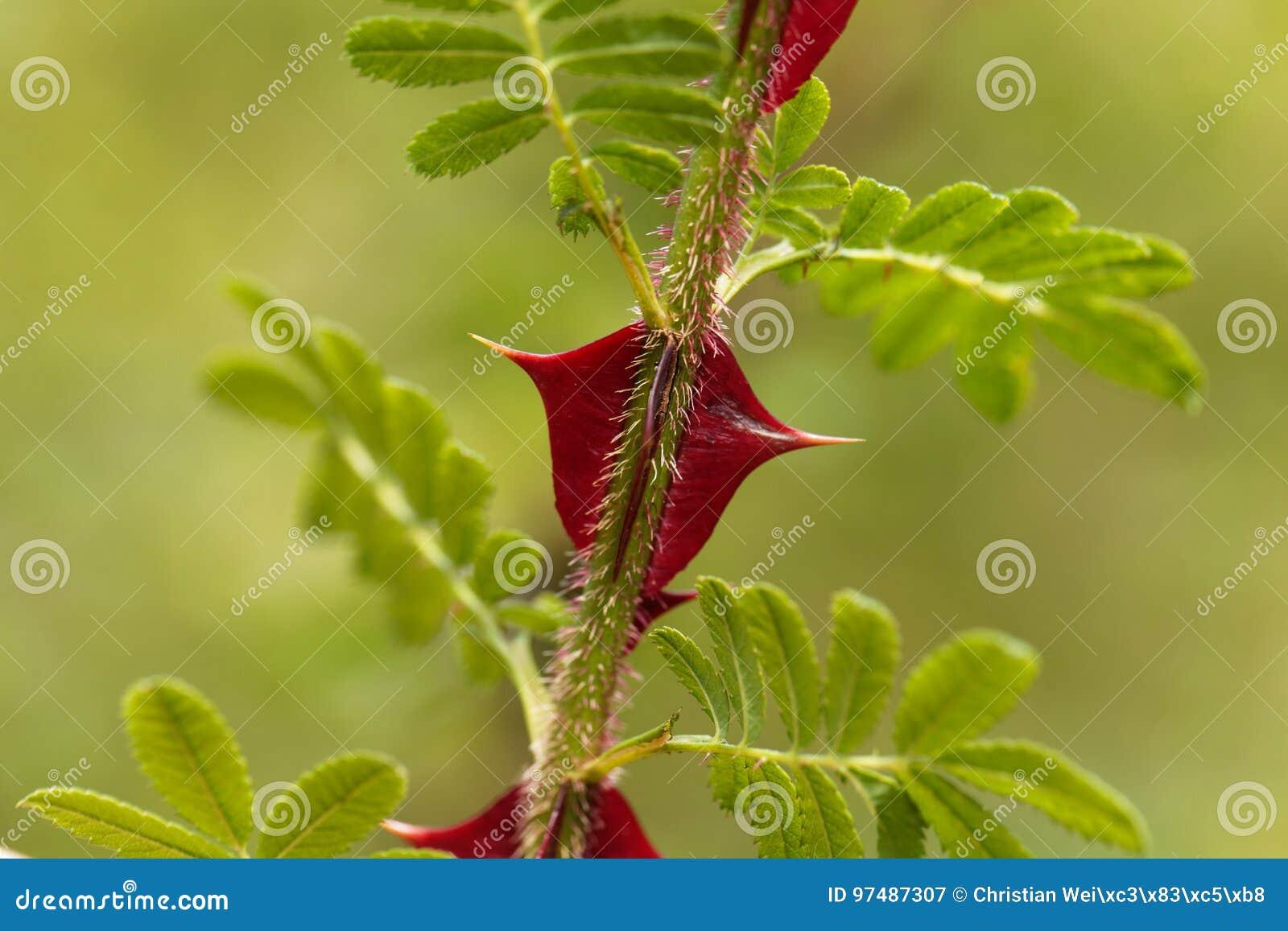 Spine dorsali del omeiensis di Rosa