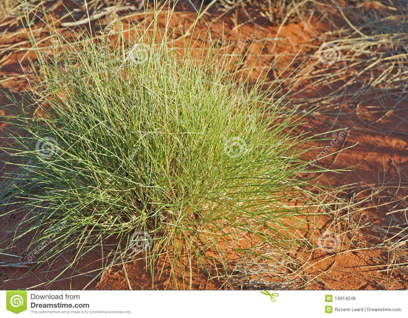 Commonly known as spinifex, triodia (plant genus) is a large genus of ...