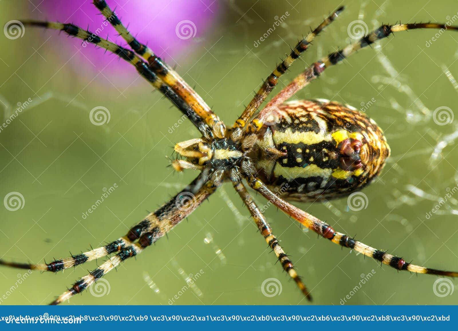 Spinne Argiope auf der Jagd